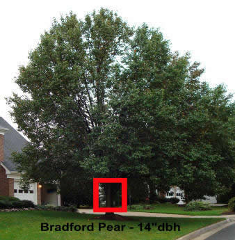 Photo of Bradford Pear that was removed